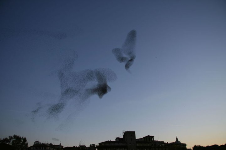 A-large-flock-of-European-Starlings-also-known-as-Common-Starlings-at-dusk-over-Rome-Italy