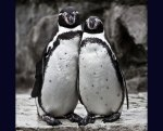 Cute-Humboldt-penguin-couple