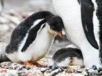 Gentoo-penguin-baby