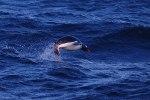 Gentoo-penguin.-Southern-Ocean-Drakes-Passage-area