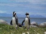 Jackass-Penguins-near-the-Cape-of-Good-Hope-Africa