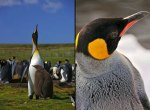 King-Penguins-at-West-Falkland-King-penguin-in-zurich-switzerland