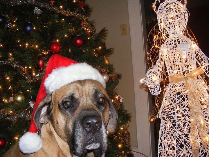 Merry-Mastiff-Christmas