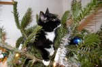 Mirjams-looking-guilty-kittie-in-Christmas-tree