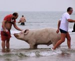 Pig-escapes-cooking-pot-by-taking-part-in-polar-bear-swim-in-the-Hague