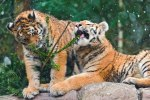 Two-tiger-cubs-playing-with-the-remains-of-a-Chrismas-tree