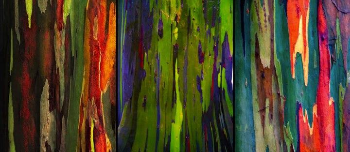 Flaking-bark-from-3-rainbow-eucalyptus-trees