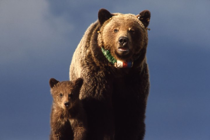 Grizzly-bear-sow-cub-with-radio-neckband-Yellowstone-National-Park