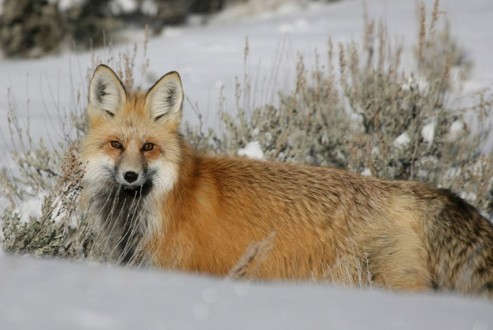 Red-fox-in-Lamar-Valley-at-Yellowstone-National-Park