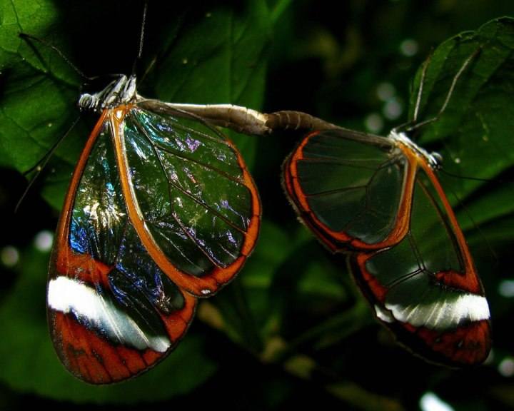 2-glasswing-butterflies