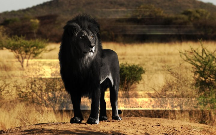 Majestic-Black-Lion
