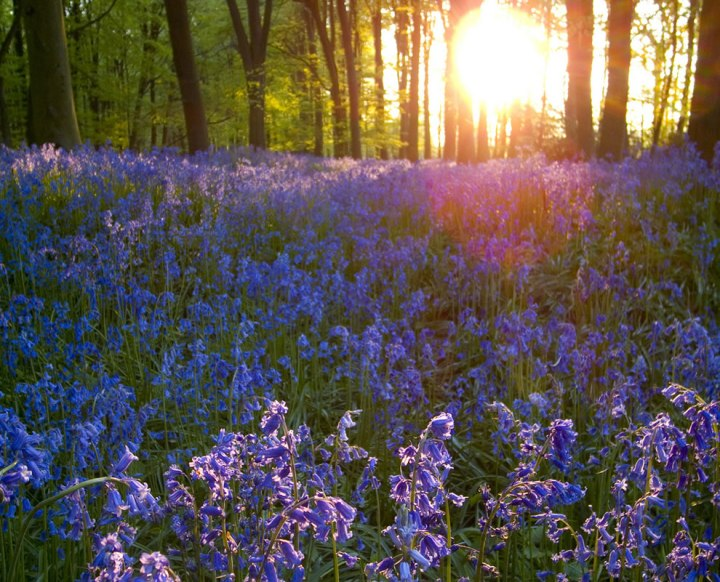 Bluebells-in-the-evening