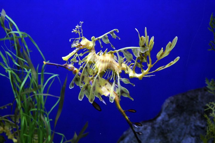 Seadragons-in-love-Leafy-seems-to-be-in-love-with-Weedy