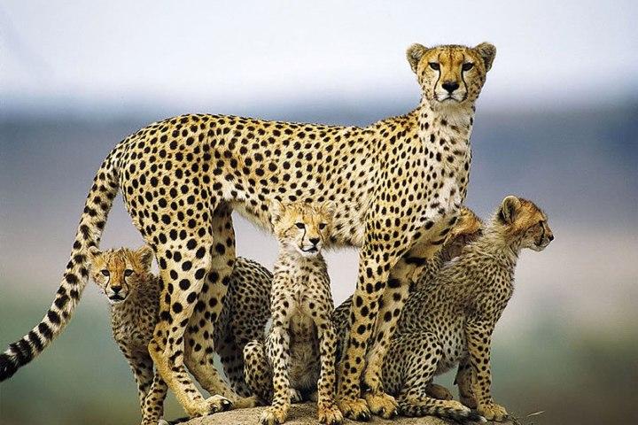 A-mother-cheetah-and-cubs-in-the-Masai-Mara-Kenya-