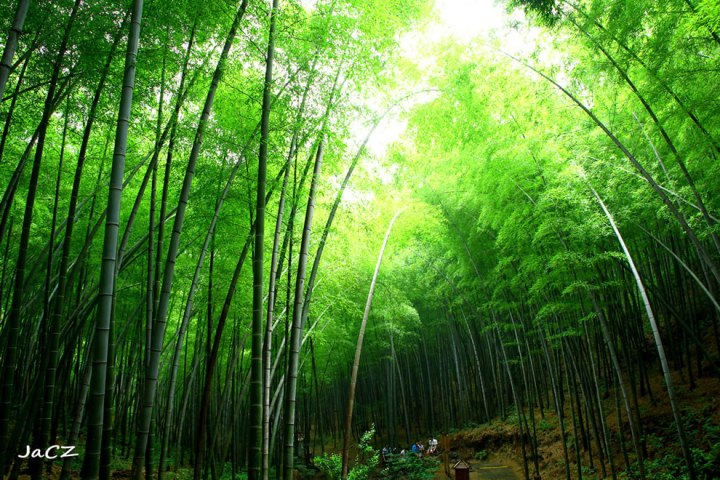 Green-Bamboo-sea