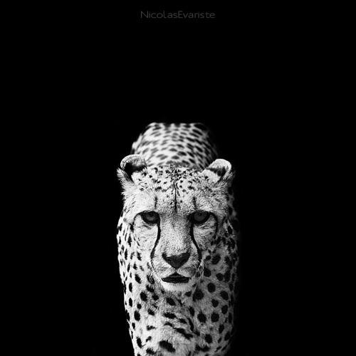 black-and-white-animal-portraits-square-nicolas-evariste-13
