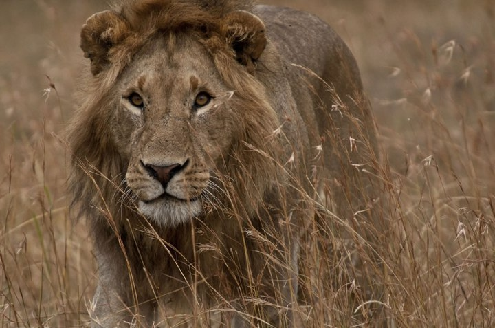 Lion-at-Serengeti-National-Park-Masai-Mara-Tanzania-