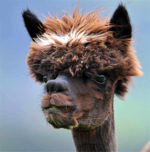 funny-alpacas-with-awesome-amazing-hilarious-hair-16