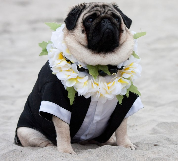 Here-comes-the-dog-groom